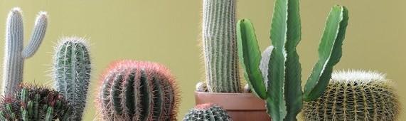cropped-06_Cactus7_800x532.jpg