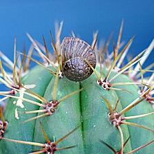 slak op cactus klein
